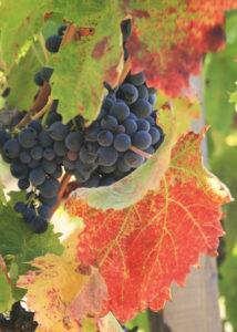La vigne Rouge, un bon remède pour les doubles de la circulation sanguine.
